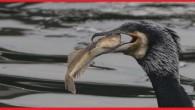 Karabatak Kuşu ve özellikleri