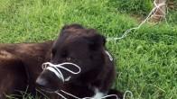 Antalya'da bağlanarak ölüme terk edilen köpek