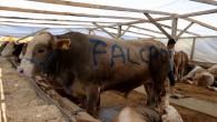 Radamel Falcao isimli boğa 16 bin TL'ye satıldı.
