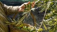 Zeytin Ağacı İlaçlama Takvimi