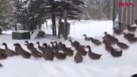 Ducks ' snow basks in us split by freezing cold