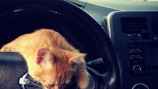 Taxi's assistant cat in Ukraine