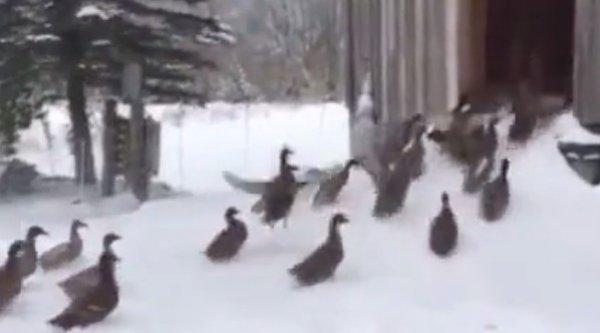 ABD'de ördeklerin kar keyfini dondurucu soğuk böldü