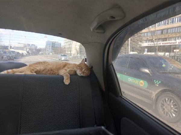 Ukrayna'nın en popüler taksisi: Kedili taksi -3