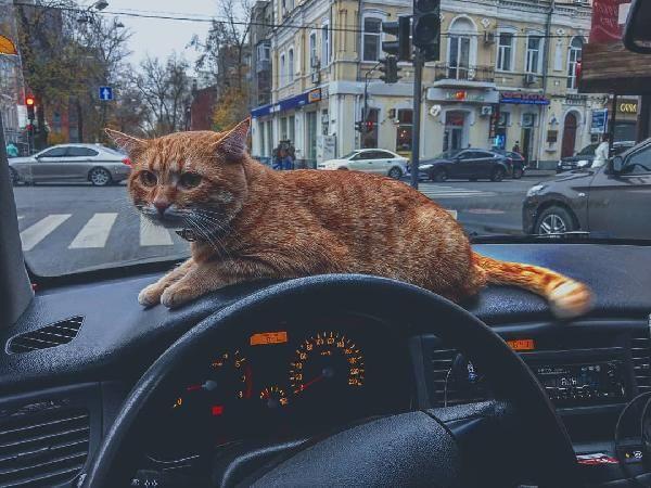 Ukrayna'nın en popüler taksisi: Kedili taksi -7