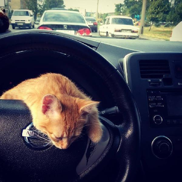 Ukrayna'nın en popüler taksisi: Kedili taksi -1